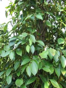 カンボジアの胡椒